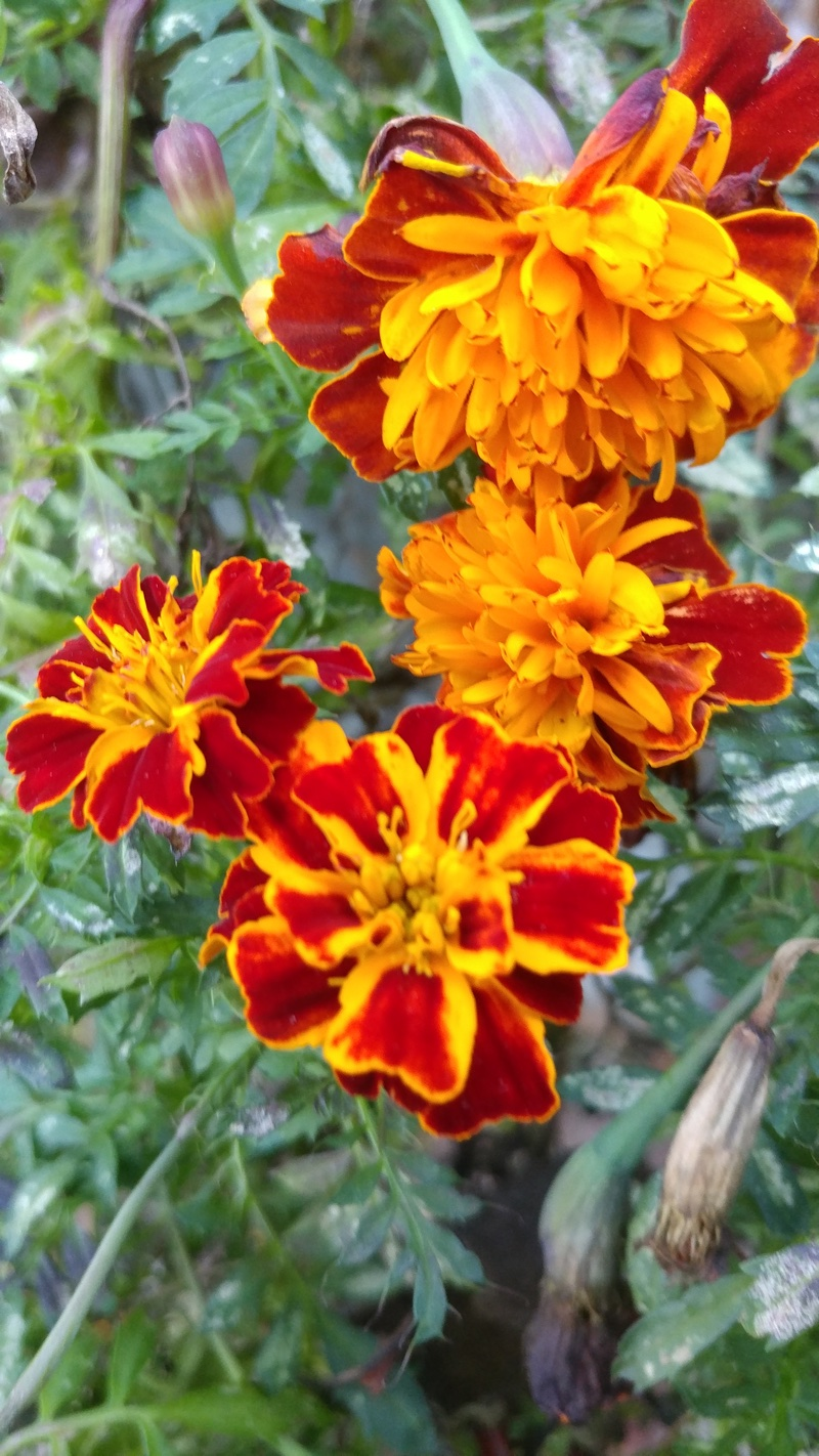marigolds-of-fall